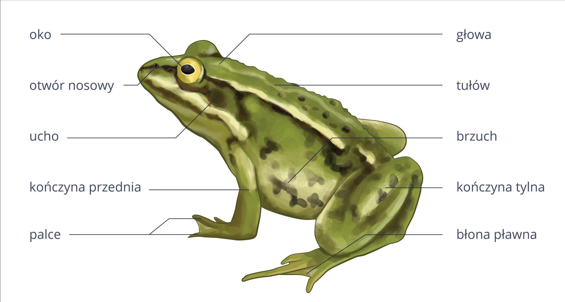 Dwie ilustracje przedstawiają budowę zewnętrzną iwewnętrzną żaby. Zlewej rysunek żaby, siedzącej zgłową wlewo. Jest zielona zbrązowymi plamkami ibiałymi smugami. Wokół podpisy części ciała. Od przodu na głowie: otwór nosowy, za nim żółte oko zczarną źrenicą. Pod nim ciemny, okrągły otwór uszny. Dalej beczkowaty tułów ibrzuch, pod nim zgięta kończyna tylna zbłoną pławną między palcami. Kończyna przednia krótsza, podpisane palce.