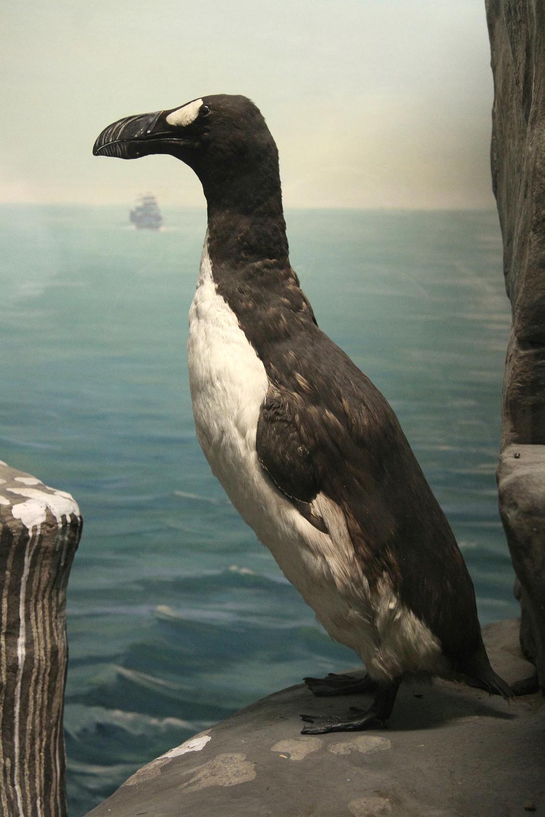 Fotografia przedstawia okaz alki olbrzymiej wmuzeum przyrodniczym. Czarnego zbiałym brzuchem ptaka ukazano stojącego na skale na krótkich, czarnych łapach. Głowa skierowana wlewo, zbardzo grubym, czarnym dziobem. Wtle fotografia morza.