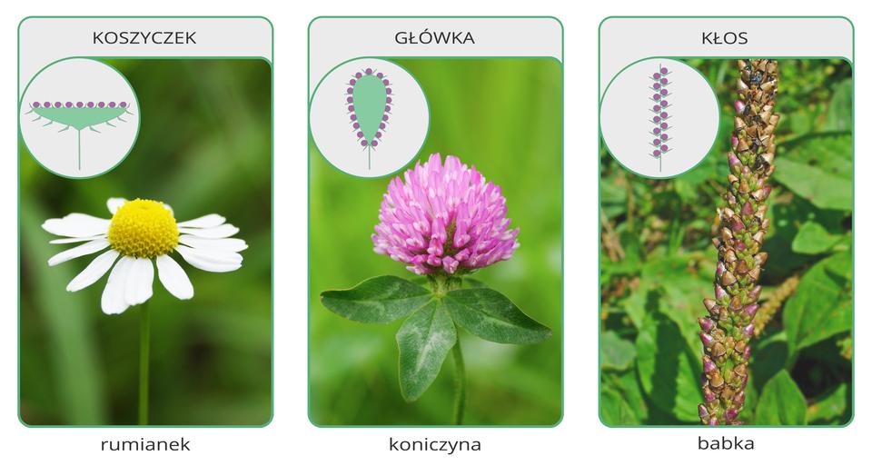 Fotografia po lewej przedstawia zbliżenie koszyczka zbiałymi płatkami iżółtym środkiem. Fotografia wśrodku przedstawia okrągłą główkę, złożoną zwielu różowych, wąskich kwiatów. Fotografia zprawej przedstawia zielono bordowy kwiatostan, złożony zwielu zwartych kwiatów, ułożonych ściśle wzdłuż łodygi. To kłos.