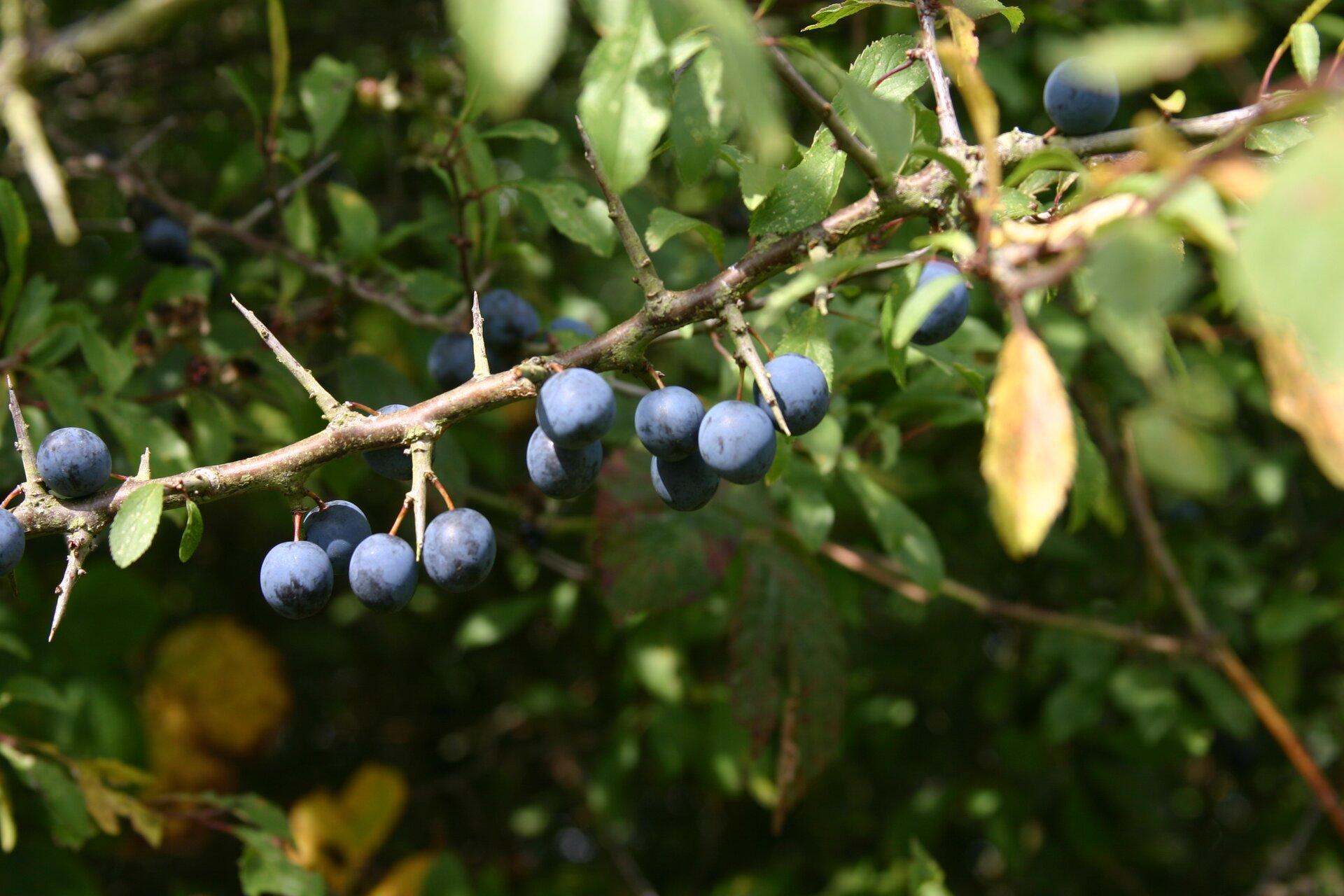 Fotografia przedstawia zbliżenie gałązki tarniny zniebieskimi, kulistymi owocami. Między nimi wyrastają krótkie, ostro zakończone ciernie.