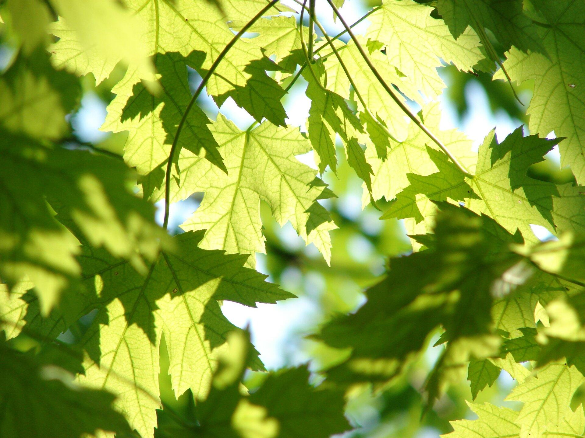Fotografia prezentuje mechanizm powstawania cienia. Na fotografii widoczne liście klonu sfotografowane od spodu. Część liści ma kolor jasnozielony. Na niektórych liściach widać ciemnozielony cień liści, które są nad nimi.