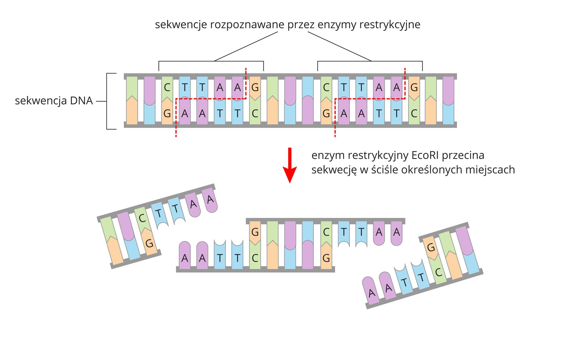 Ilustracja przestawia przy pomocy kolorowych klocków schemat działania enzymów restrykcyjnych. Klocki symbolizują cząsteczkę DNA. Strzałka wdół wskazuje, że enzymy rozcinają nici DNA wokreślonych miejscach. Powstały trzy fragmenty nici.