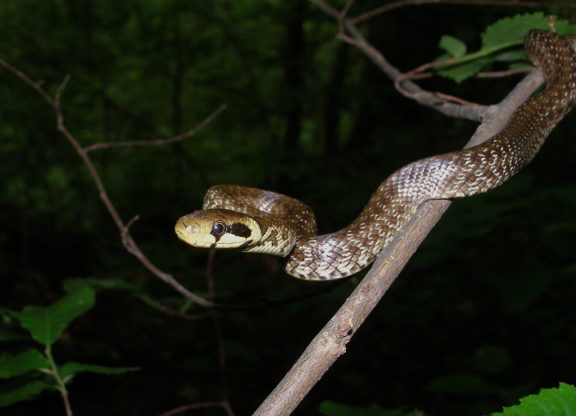 Fotografia wykonana wnocy, zlampą, przedstawia węża pełznącego po cienkiej, ukośnej gałęzi. Wąż Eskulapa ma głowę iczęść tułowia poziomo wlewo, poza gałęzią. Ubarwienie brązowe na grzbiecie, na brzuchu jasne. Głowa zokrągłym okiem iwyraźną, ciemnobrązową plamą za nim. To największy wąż wPolsce.