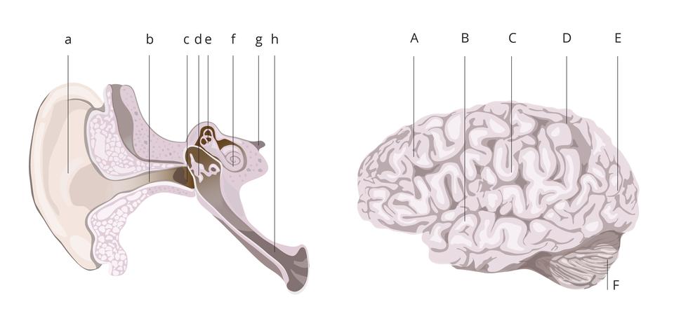 Na ilustracji liliowe rysunki: zlewej przekrój ucha, zprawej mózgowie. Oba oznakowane literami. Ucho małymi, od ado h. Mózgowie dużymi, od Ado F.