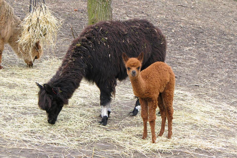 Siódma fotografia prezentuje dwie stojące bokiem do siebie lamy. Duża czarna, pochyl się jedząc trawę, druga młoda brązowa lama patrzy na wprost.