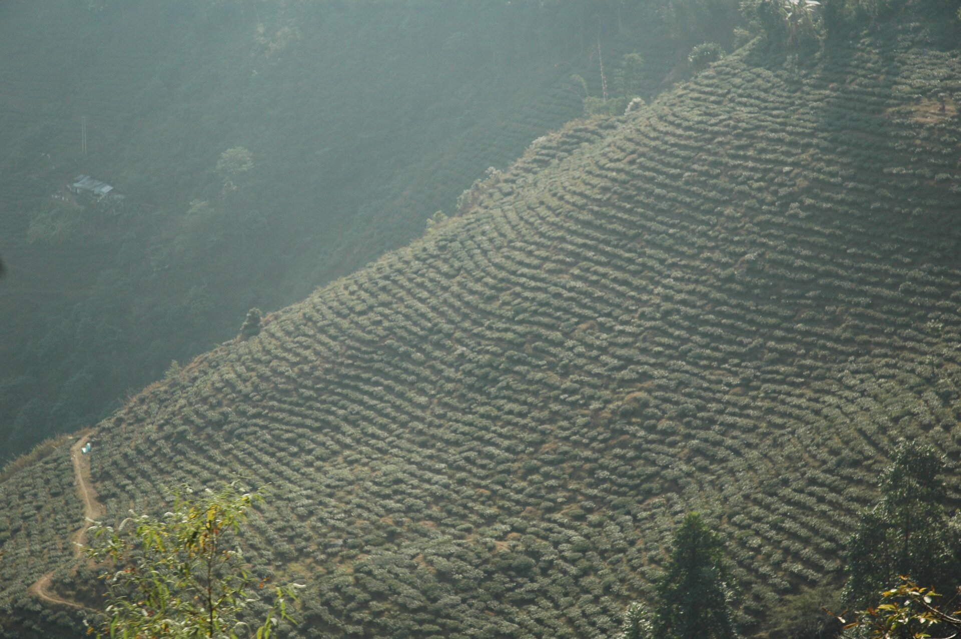 Na zdjęciu rozległe plantacje herbaty zajmujące cały łagodnie nachylony stok.