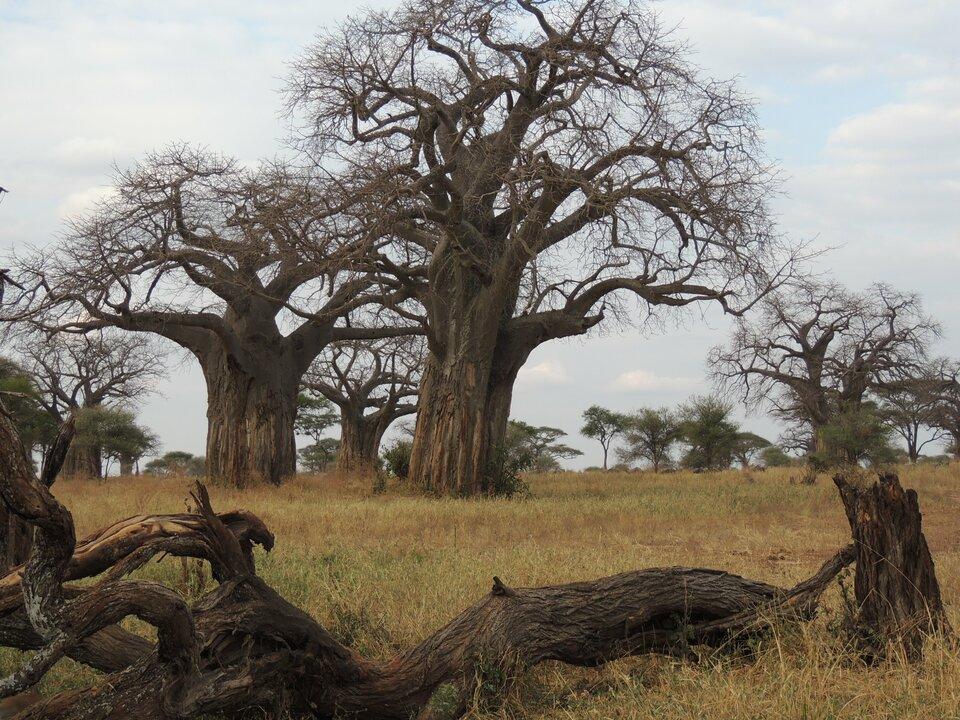 Charakterystycznymi drzewami sawanny są potężne baobaby