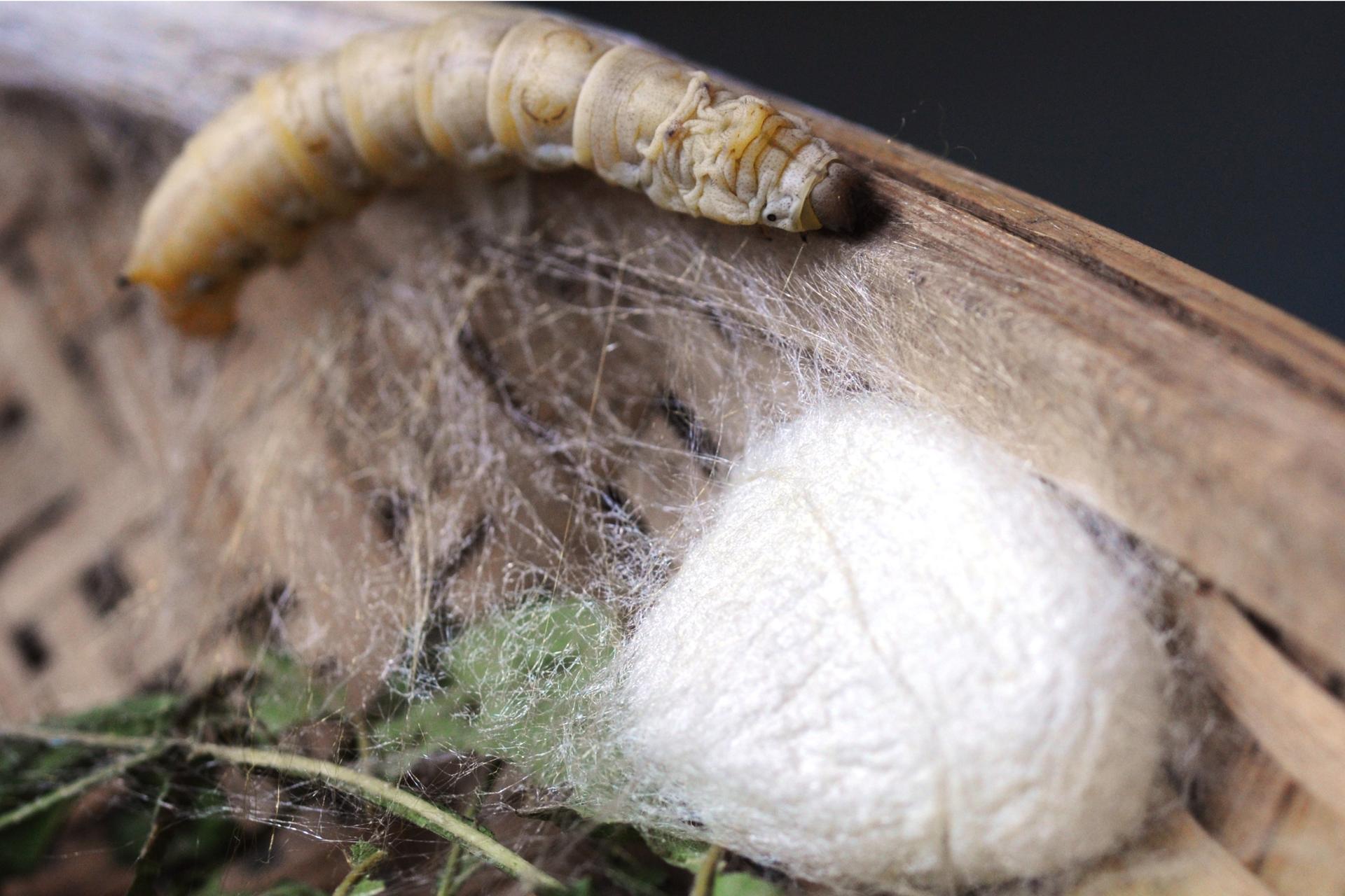 Fotografia larwy jedwabnika siedzącej na liściu. Ciało larwy jest jasnoszare, podzielone na szerokie segmenty. Tylny brzeg każdego segmentu jest żółty. Poniżej larwy znajduje się jedwabna kula, wktórej skryta jest inna larwa.