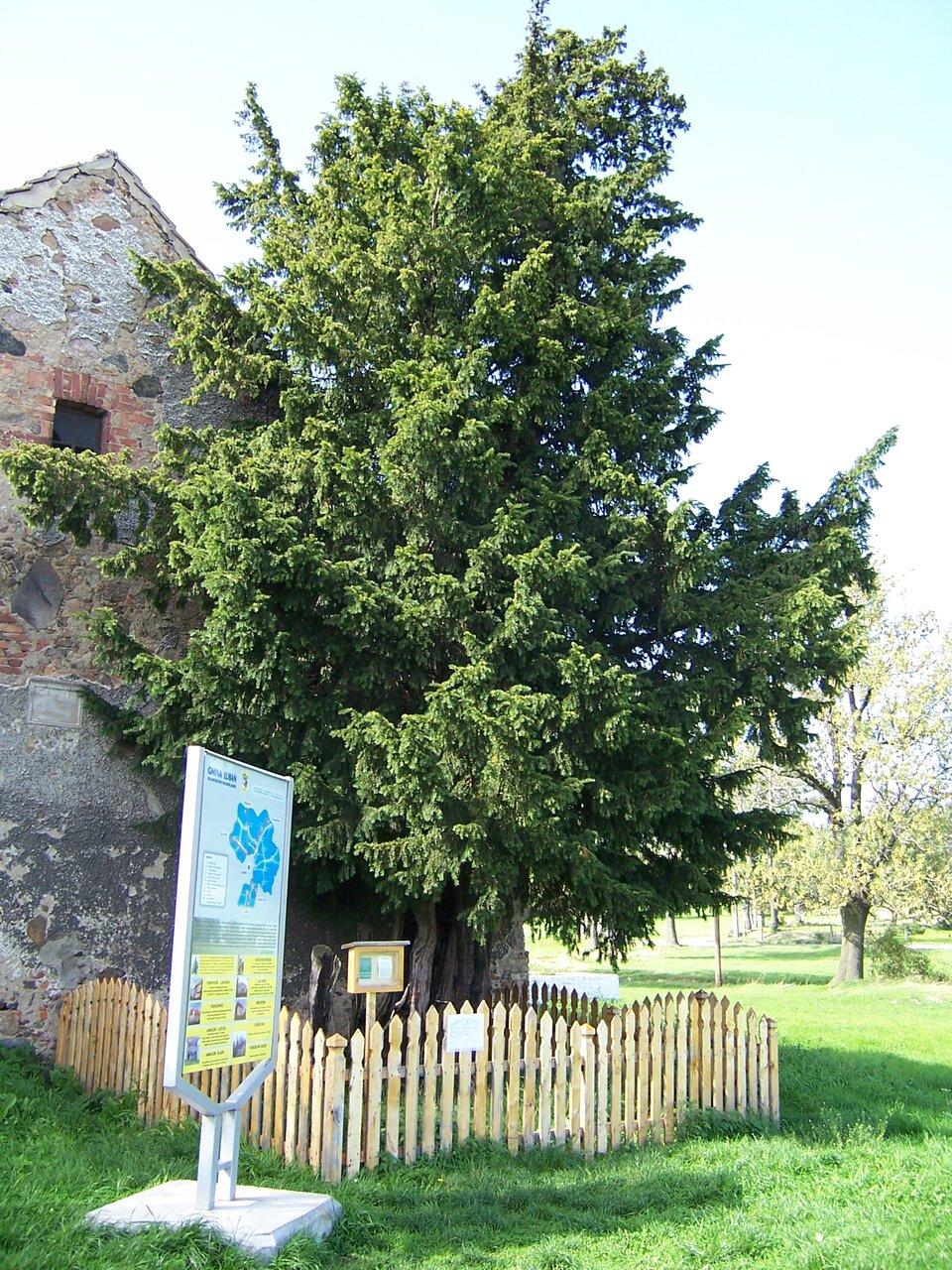Fotografia przedstawia drzewo, stojące zpłotkiem przy murze budynku. Przed nim tablica informacyjna. Jest to najstarsze wPolsce drzewo, cis wHenrykowie Lubańskim wwojewództwie dolnośląskim.