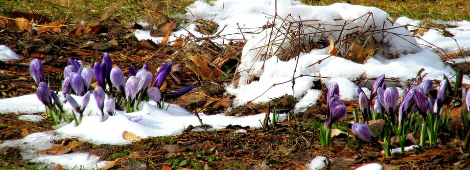 Panoramiczne zdjęcie przedstawia zbliżenie kawałka gleby wokresie wczesnowiosennym. Zieleniejąca trawa pokryta jest warstwą mokrych opadłych liści oraz sporymi ilościami śniegu. Po lewej iprawej stronie kadru znajdują się dwie grupy kwitnących na fioletowo krokusów. Kwiaty po prawej stronie do połowy przysypane są śniegiem.