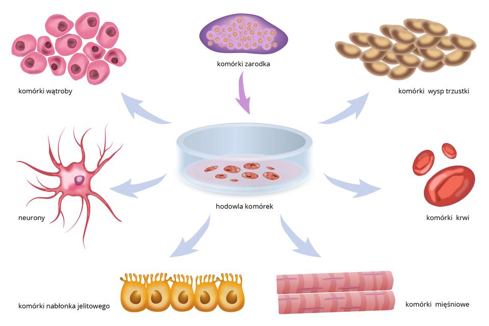 Schemat przedstawia różne komórki, powstające zkomórek macierzystych. Wcentrum znajduje się rysunek szalki zbrązowymi plamami, czyli hodowla komórek macierzystych. Zostały one pobrane od zarodka, ukazanego ugóry wkolorze fioletowym. Od szalki błękitne strzałki wskazują kolorowe ilustracje komórek pochodnych.