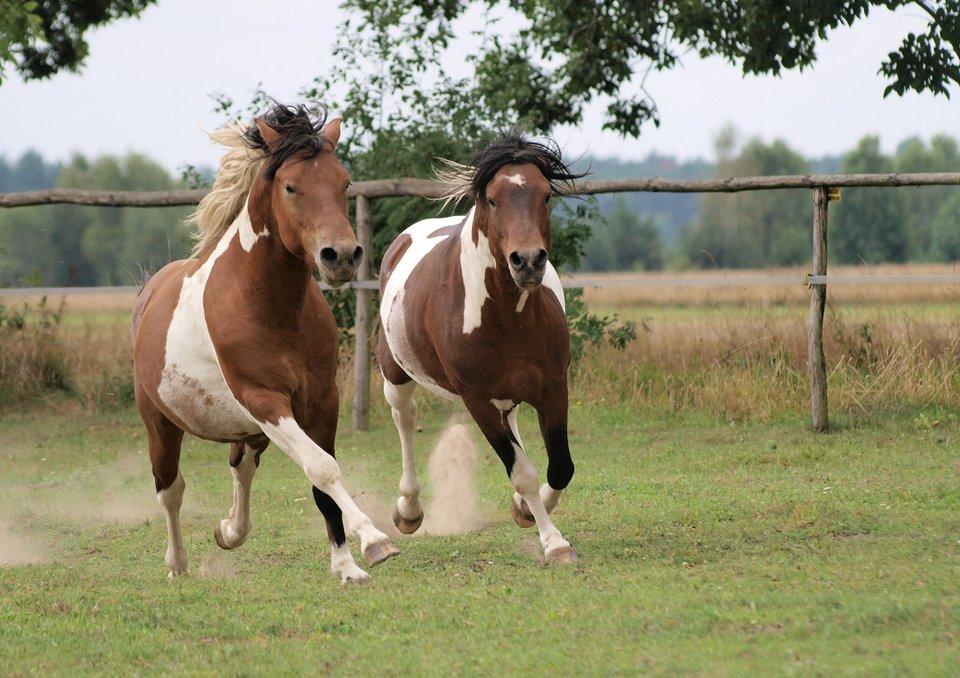 Konie srokate Konie srokate Źródło: K.P. Wiśniewski, licencja: CC BY-SA 3.0.