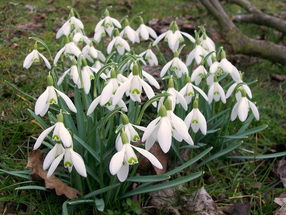 Fotografia przedstawia kępkę niskich roślin oniebieskozielonych, wąskich liściach. To śnieżyczki przebiśniegi. Mają białe, dzwonkowate kwiaty. Na jednym płatku na końcu żółtozielona plamka wkształcie odwróconej litery V.