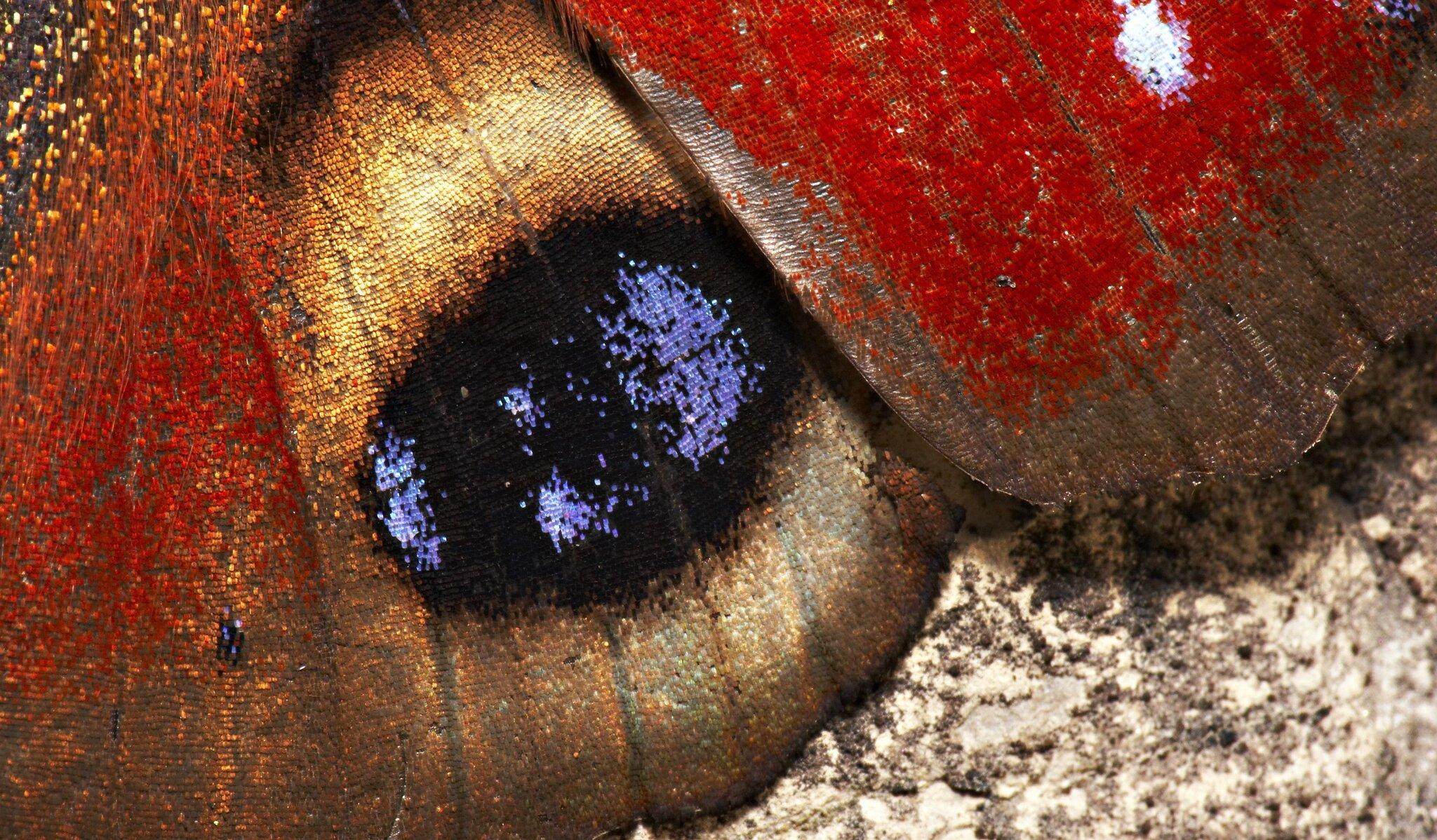 motyl Źródło: Michael Apel, licencja: CC BY-SA 2.0.