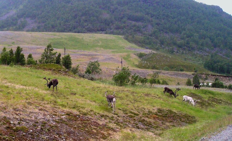 Na zdjęciu rozległe obszary pokryte bardzo niską pokrywą roślinną, zdominowaną przez niskie trawy, mchy iporosty. Renifery. Wtle pojedyncze drzewa.
