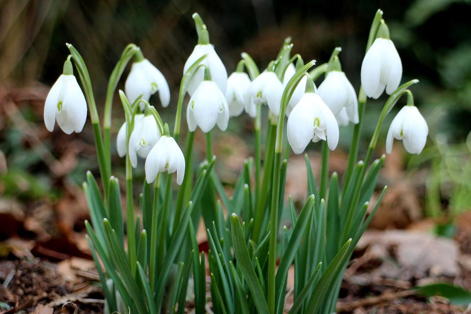 Fotografia prezentuje śnieżyczkę przebiśnieg zbiałymi kwiatami.