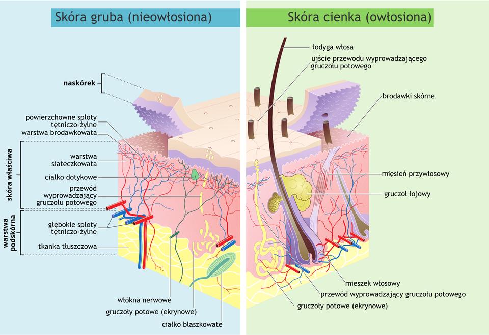 Ilustracja 1 to dwa schematy budowy skóry ułożone obok siebie. Lewy schemat to gruba nieowłosiona skóra. Prawy schemat to skóra cienka iowłosiona. Obydwa schematy podzielone są poziomo na warstwy. Na górze znajduje się warstwa zewnętrzna skóry czyli naskórek. Druga warstwa poniżej to skóra właściwa. Trzecia warstwa to warstwa podskórna. Lewy schemat skóry grubej. Pod naskórkiem znajduje się warstwa brodawkowata. Powierzchnia warstwy jest pokryta kulistymi brodawkami. Wwarstwie są powierzchniowe sploty tętniczo-żylne. Wwarstwie skóry właściwej znajdują się rozgałęzione sploty tętniczo-żylne, ciałko dotykowe, przewód gruczołu potowego. Wwarstwie najgłębszej, podskórnej, znajduje się tkanka tłuszczowa. Sploty tętniczo-żylne są grubsze. Gruczoły potowe iwłókna nerwowe. Prawy schemat skóry cienkiej, owłosionej. Na naskórku znajdują się krótkie idługie łodygi włosa. Łodygi wkształcie długich rurek. Łodygi sięgają aż do tkanki tłuszczowej warstwy podskórnej. Wwarstwie skóry właściwej znajdują się mięśnie przywłosowe oraz gruczoły łojowe. Koniec łodygi włosowej to mieszek włosowy wkształcie wrzeciona. Wzdłuż mieszka siatka gruczołów potowych.