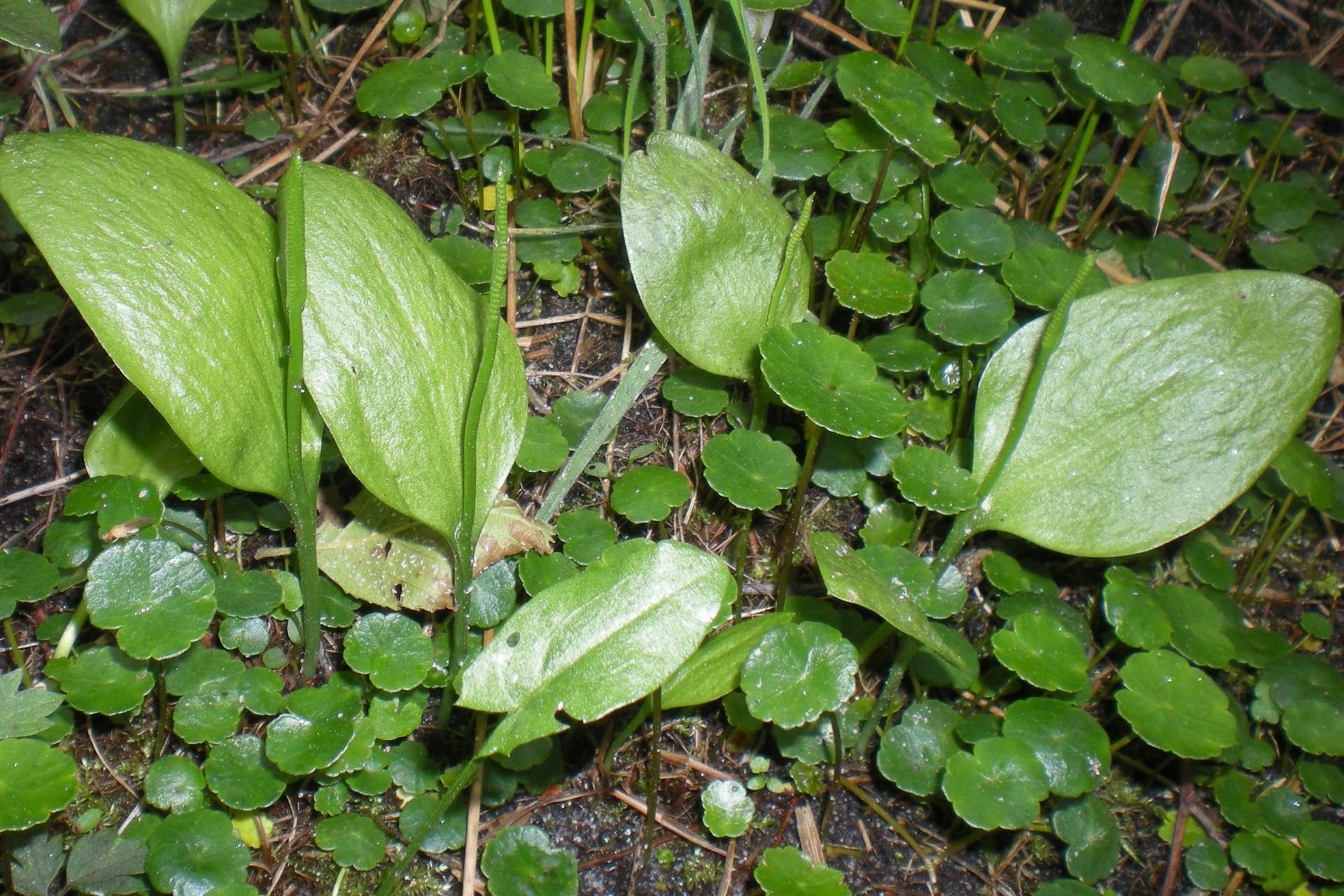 Fotografia przedstawia kilka rodzajów liści. Największe są jasnozielone, płaskie, owalne. Przy nich wyrastają wąskie, grube, podzielone na końcach. Oba te rodzaje liści należą do nasięźrzała pospolitego. Małe, ciemnozielone, okrągłe liście należą do innej rośliny