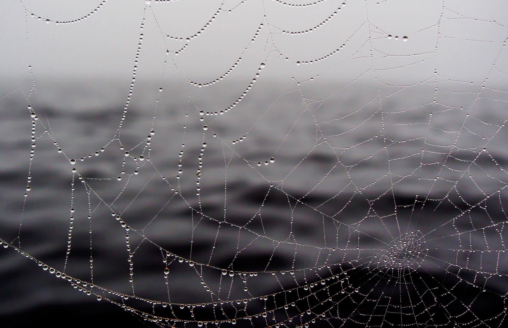 Rosa na pajęczej sieci Źródło: licencja: CC 0.