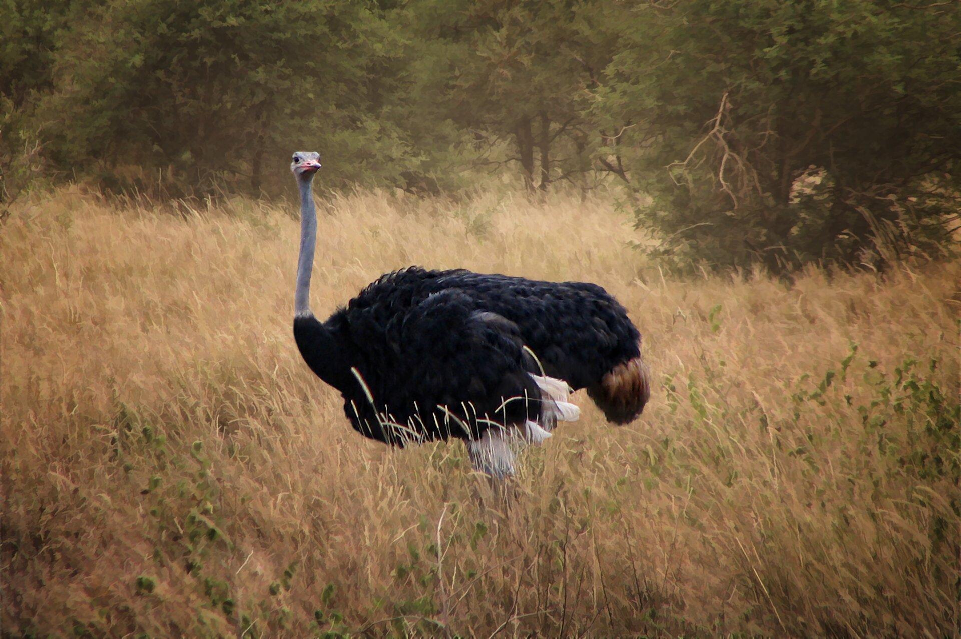 Fotografia przedstawia strusia afrykańskiego na tle zarośli sawanny. Duży ptak idzie wlewo na długich, nieopierzonych nogach. Tułów ze skrzydłami ipoczątek szyi okryte czarnymi piórami. Jedynie przy kuprze ipod skrzydłami pióra są różowe. Długa szara szyja imała głowa okryte puchem, dziób krótki.