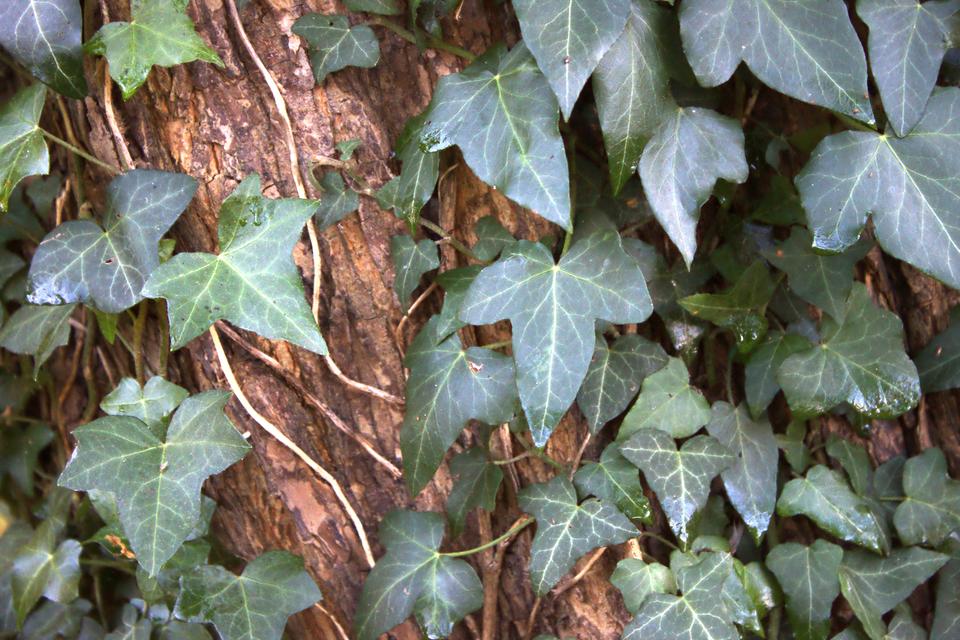 Fotografia prezentuje pnącze bluszczu pospolitego na pnie drzewa.