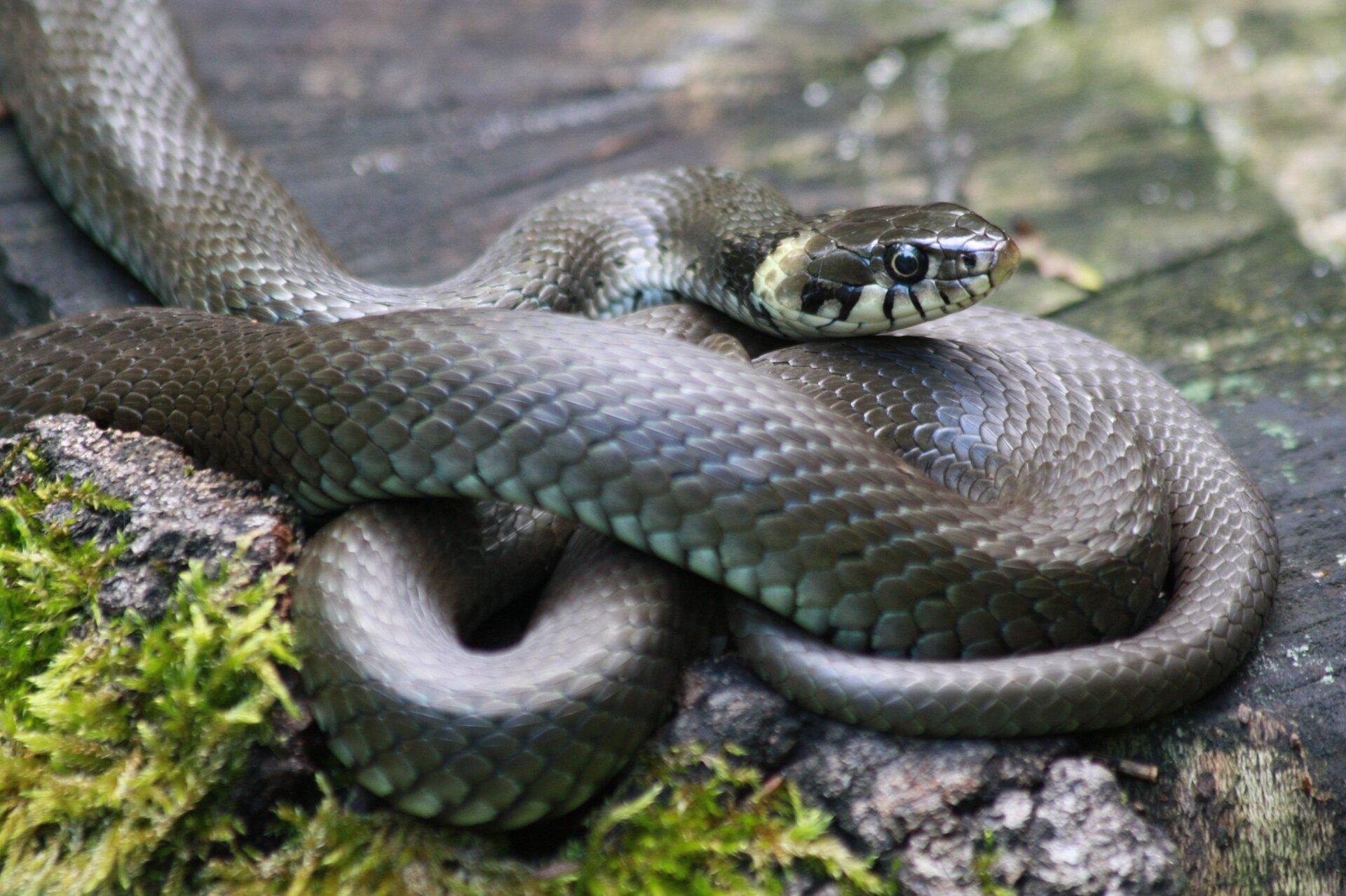 Fotografia zaskrońca. Zwierzę ma długie ciało pozbawione kończyn, barwy czarnej, pokryte łuskami. Głowa szersza od reszty ciała, tuż za nią widać dwie żółte plamy.