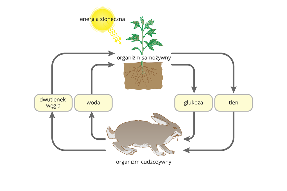 Ilustracja przedstawia żółte słońce, którego promienie docierają do zielonej rośliny. Rośnie ona wbrązowej glebie. Roślina jest organizmem samożywnym. Na dole znajduje się szary zając, który jest organizmem cudzożywnym. Dwie strzałki znapisami: glukoza itlen prowadzą wdół od rośliny do zająca. Dwie strzałki znapisami: woda idwutlenek węgla prowadzą wgórę, od zająca do rośliny. Ten schemat ilustruje znaczenie fotosyntezy.