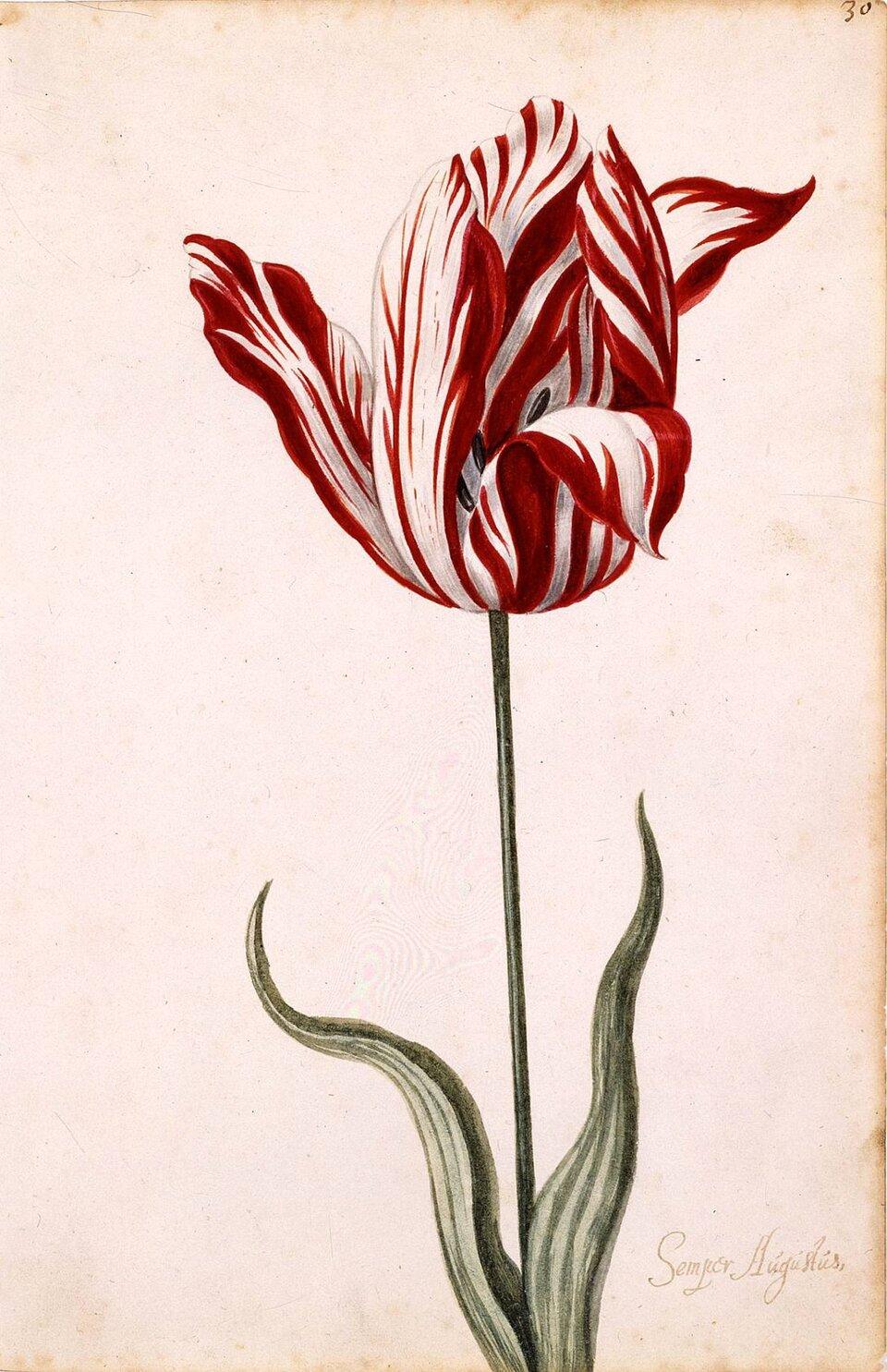 Ilustracja numer siedem przedstawia tulipan zainfekowany wirusem pstrości tulipana. Kwiat jest czerwony, wsparty na zielonej łodydze. Tulipan ma dwa liście zobu stron. Płatki kwiatu mają podłużne białe smugi. Na liściach znajdują się takie same białe podłużne smugi, sięgające od nasady liścia aż po czubek.