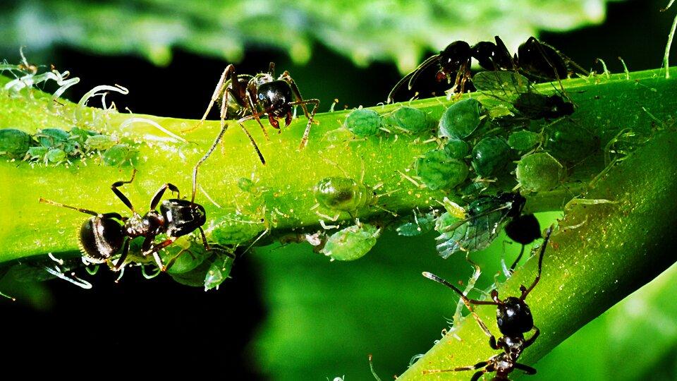 Druga ilustracja przedstawia cztery czarne mrówki siedzące na zaatakowanym przez mszyce fragmencie zielonej rośliny.słowa kluczowe: mrówki, mszyce, zwierzęta, rośliny.