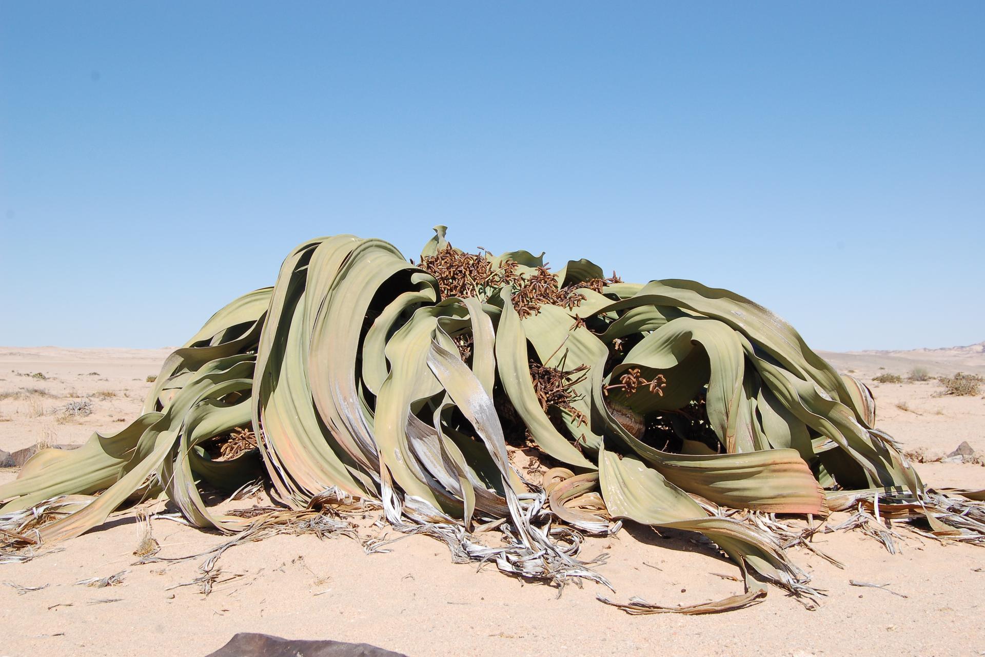 Fotografia przedstawia kępę roślin oszaro zielonych liściach, rosnących na piasku. Między liśćmi wystają brązowe kwiatostany. To endemit welwiczia przedziwna, zpustyń Namibii iAngoli.