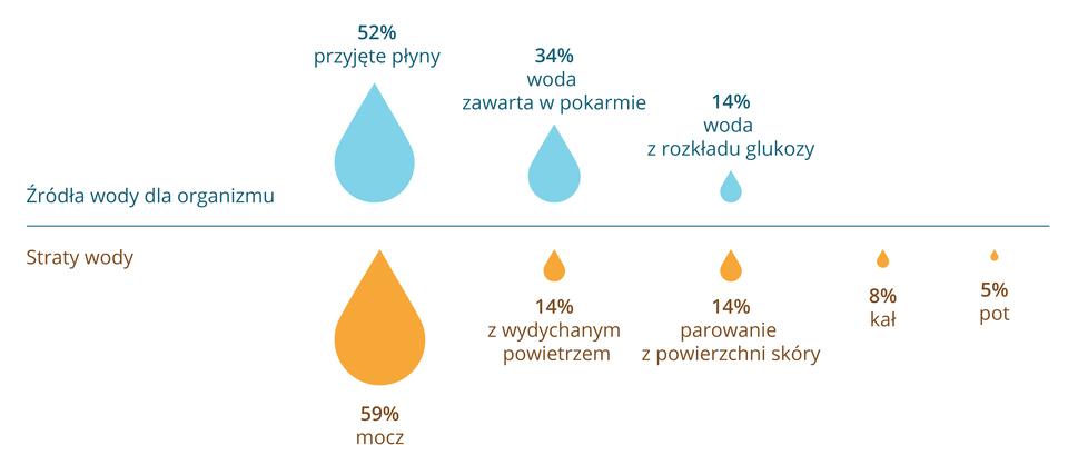 Ilustracja przedstawia schematycznie wformie kropli bilans wodny człowieka. Ugóry krople niebieskie wskazują źródła wody dla organizmu. Duża to przyjęte płyny, 52 procent. Mniejsza to woda zawarta wpokarmie, 34 procent. Najmniejsza kropla to woda zrozkładu glukozy, 14 procent. Udołu pomarańczowe krople to straty wody. Największa symbolizuje mocz, 59 procent. Kolejne to strata wody zwydychanym powietrzem iparowanie zpowierzchni skóry, po 14 procent. 8 procent wody tracimy zkałem, a5 procent zpotem.