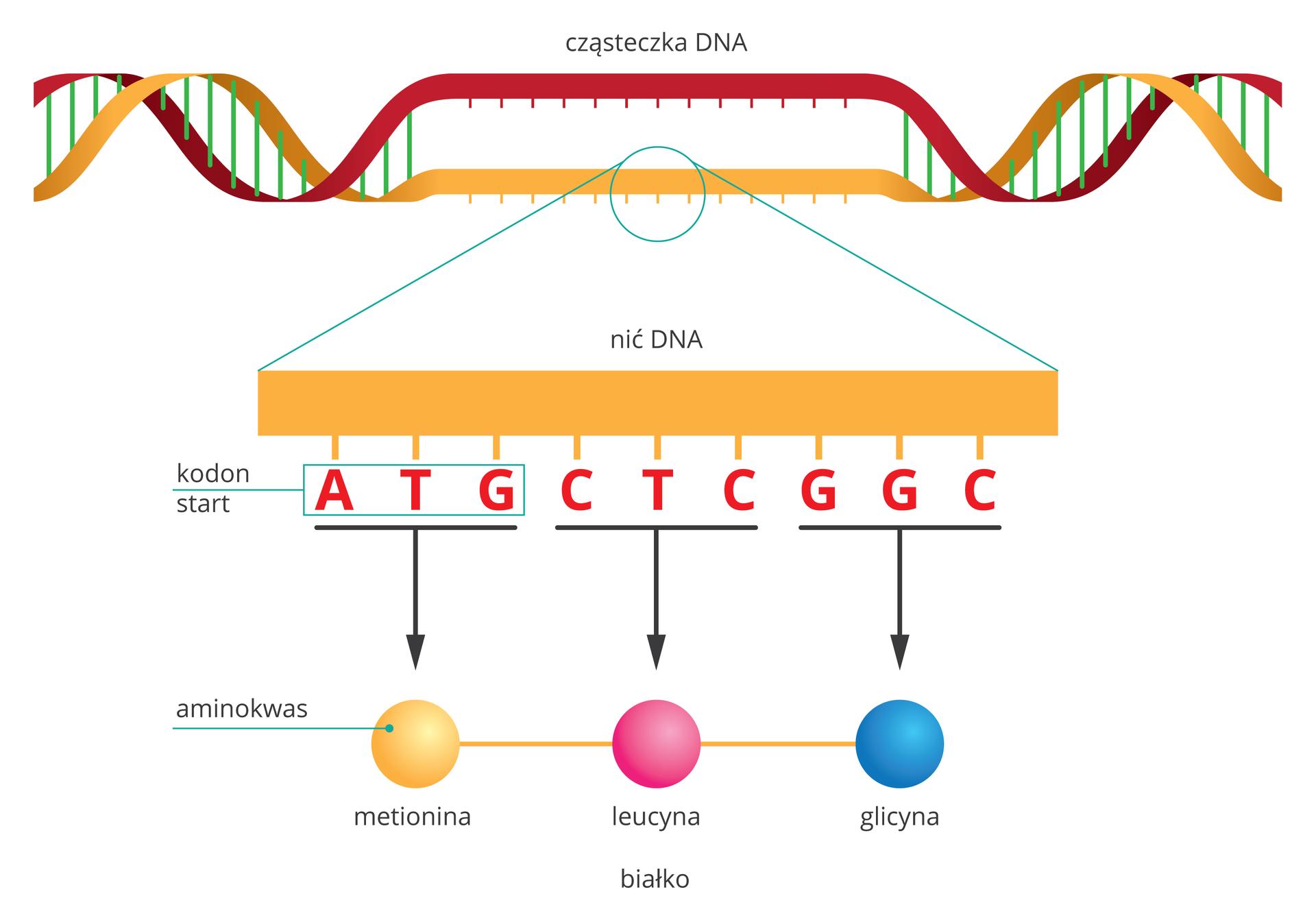 Ilustracja przestawia schematycznie proces syntezy białka. Ugóry czerwono – żółta nić DNA, częściowo rozpleciona. Od żółtej nici wdół powiększenie. Podpisane kodony: ATG (start), CTC, GGC. Od nich strzałki do nazw aminokwasów: metionina, leucyna, glicyna. Połączone kolejno aminokwasy tworzą łańcuch białka.