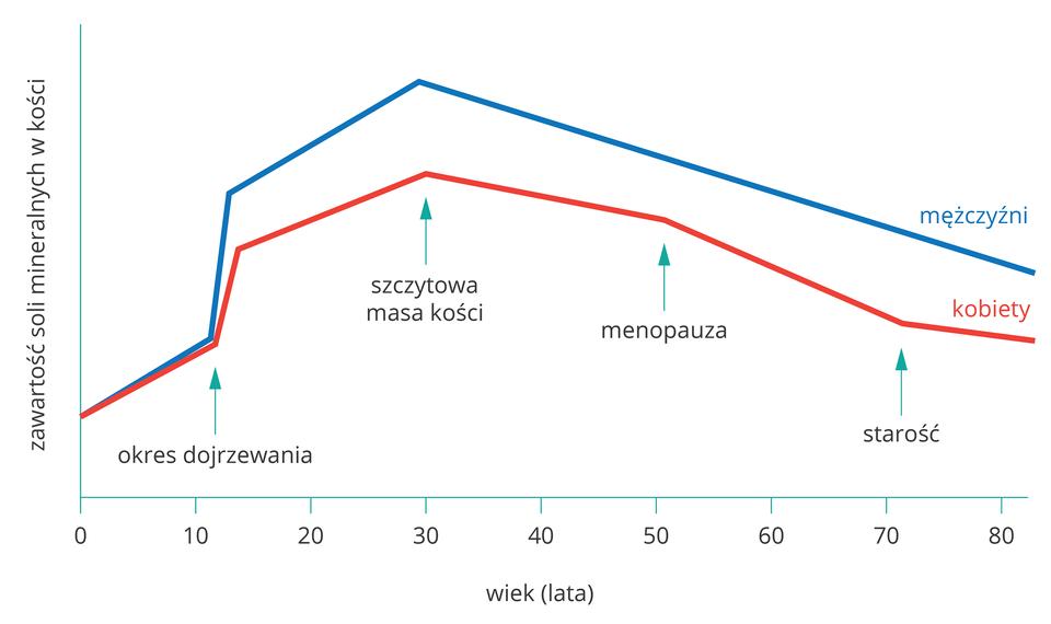 Wykres liniowy przedstawia zmiany zawartości soli mineralnych wkościach człowieka wzależności od wieku. Oś Xwyskalowano wlatach, oś Ybez skali, podpisana: zawartość soli mineralnych wkości. Błękitna linia oznacza mężczyzn, czerwona kobiety. Turkusowe strzałki wgórę wskazują od lewej: okres dojrzewania, szczytową masę kości, menopauzę, starość.