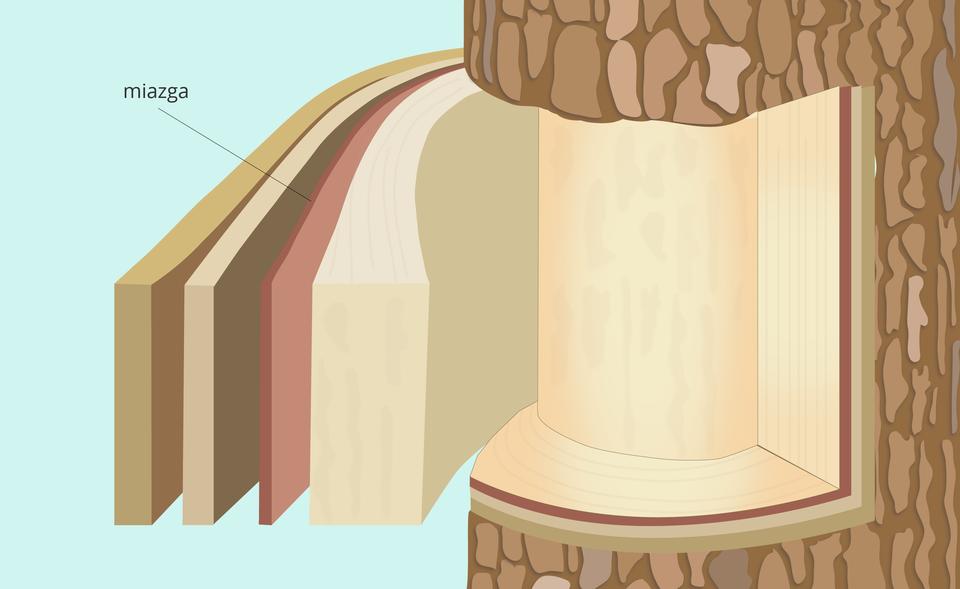 ilustracja pokazuje fragment pnia iwarstwy tkanek położonych pod korą, wtym miazgę.