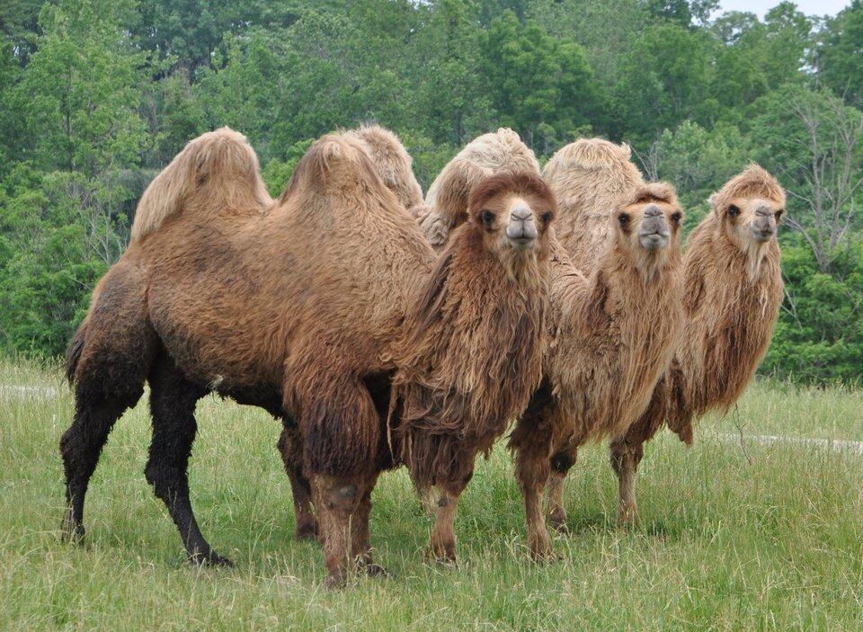 Fotografia prezentuje trzy stojące obok siebie na trawie wielbłądy dwugarbne. Wielbłądy mają długą brązową sierść. Wtle widoczne zielone drzewa.