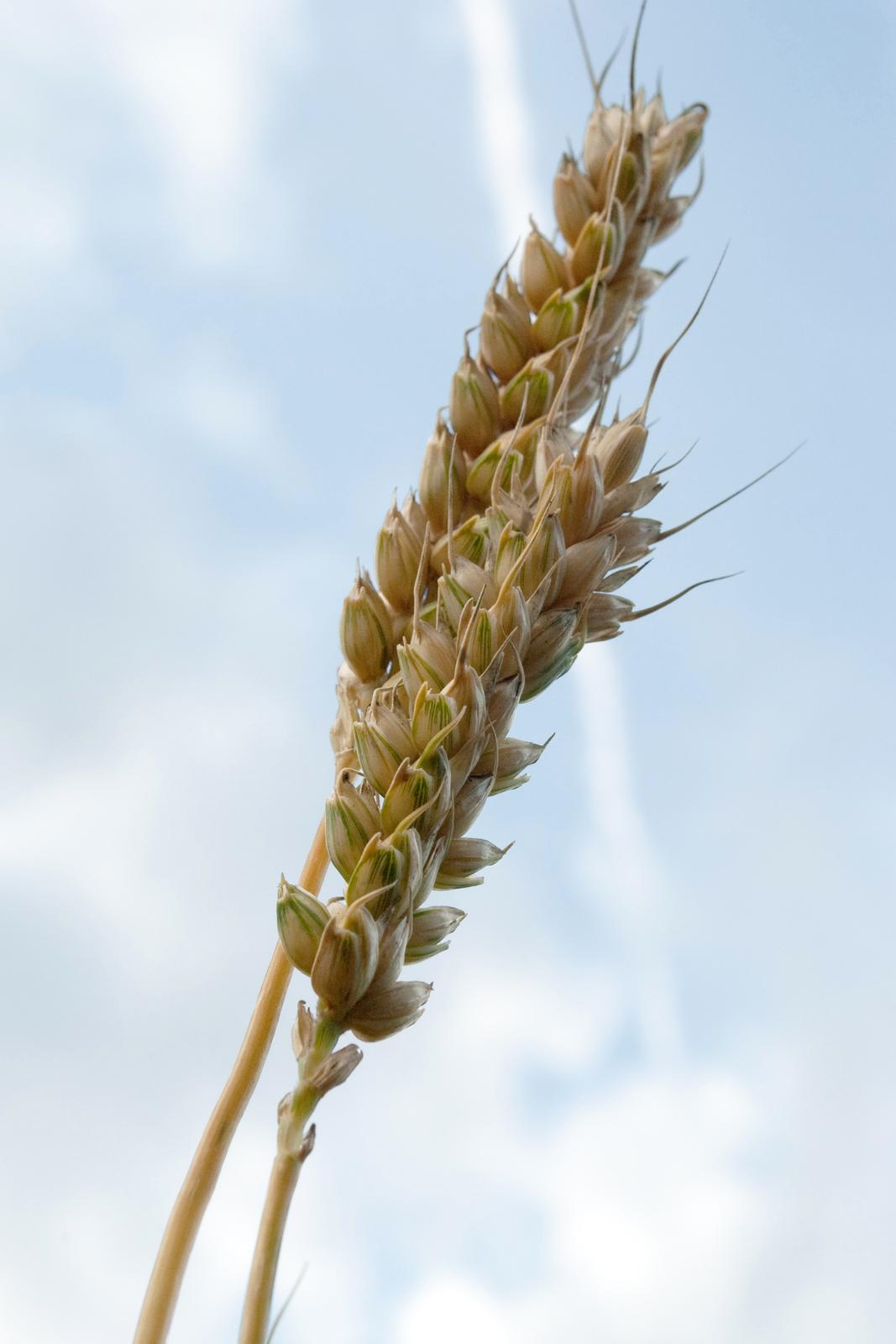 Fotografia przedstawiająca kłos pszenicy. Widać długo kłos zgrubymi, luźno rozmieszczonymi ziarnami.