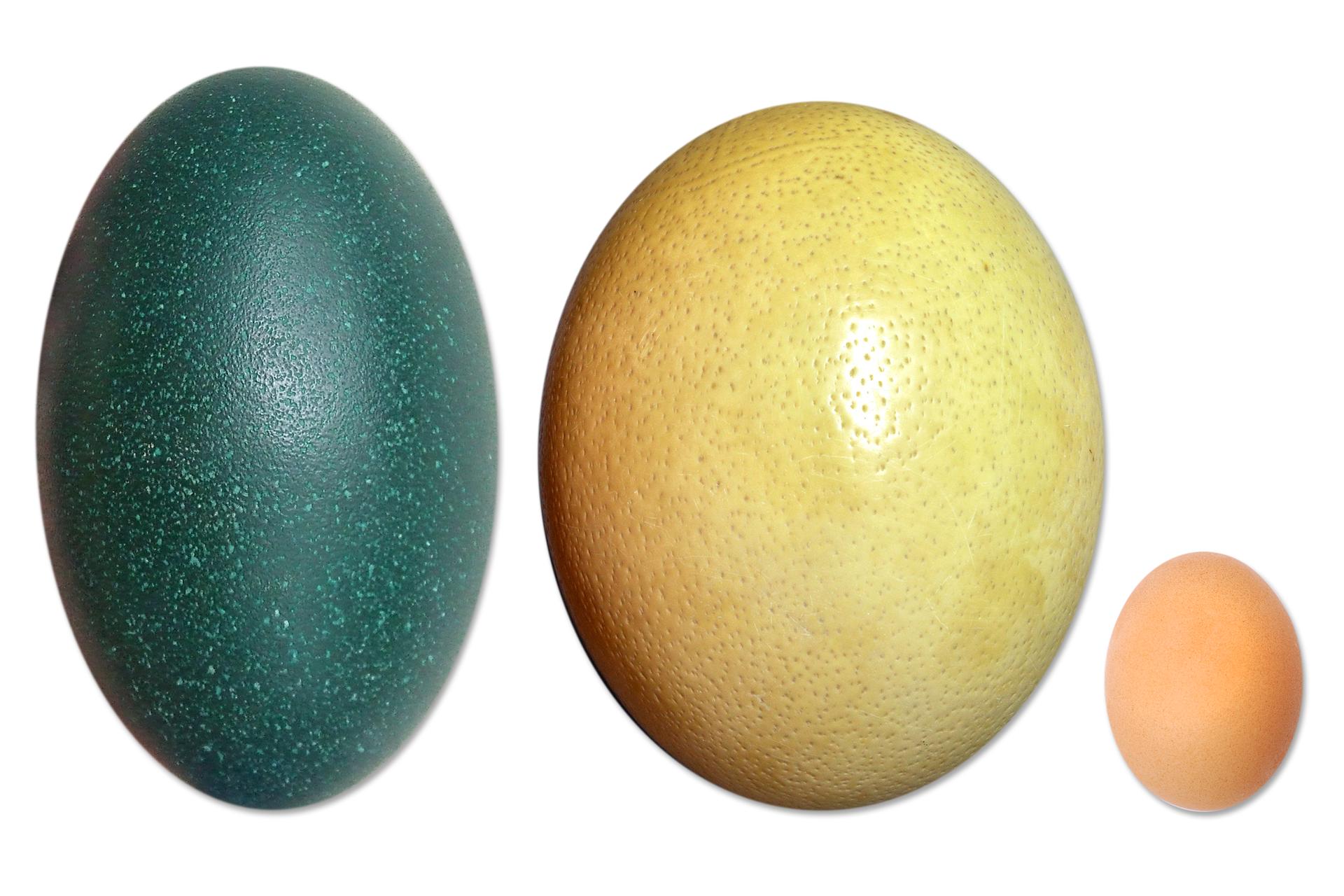 Zdjęcie przedstawiające jaja strusia afrykańskiego, australijskiego emu ikury. Jaja różnią się wielkością, kształtem ikolorem.