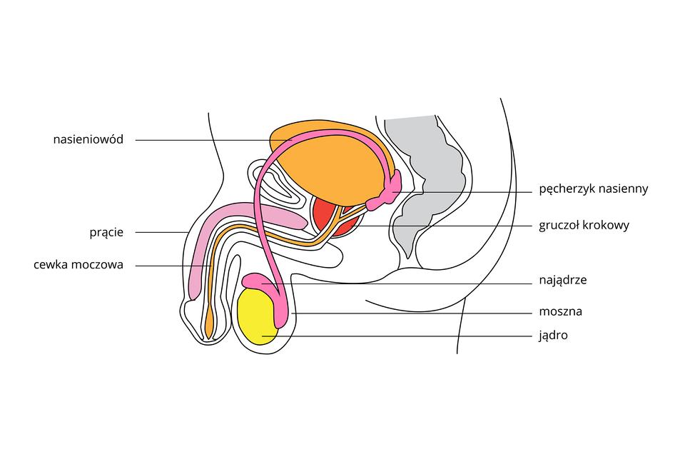 Ilustracja przedstawia schematycznie pionowy przekrój przez dolną część tułowia. Przedstawiono wkolorach części układu rozrodczego męskiego iukładu moczowego. Udołu żółte jądro wworku – mosznie. Na nim różowe najądrze, przechodzące wdługi nasieniowód. Za pomarańczowym pęcherzem moczowym najądrze ma pęcherzyk nasienny. Dalej drogi rozrodcze imoczowe są wspólne jako cewka moczowa. Przy ich połączeniu czerwony gruczoł krokowy. Zlewej zwisające prącie zróżowym ciałem jamistym. Zprawej szary zarys odbytnicy.