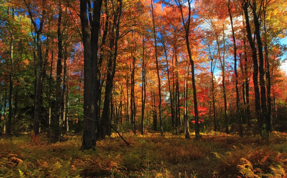 Zdjęcie przedstawia las liściasty jesienią, za dnia. Wcentralnej części zdjęcia znajduje się szeroka ścieżka częściowo pokryta kolorowymi liśćmi. Liście mają kolor czerwony, żółty, brązowy ipomarańczowy. Po obu stronach ścieżki znajdują się drzewa. Gałęzie drzew częściowo są jeszcze pokryte kolorowymi liśćmi. Rozłożyste gałęzie drzew znajdują się również nad ścieżką. Liście, które opadły, leżą wokół drzew. Wzdłuż drogi znajdują się krzewy, zktórych część pokryta jest liśćmi żółtymi, aczęść zielonymi. Na zdjęciu przeważają kolory ciepłe. Przeważa kolor żółty, pomarańczowy, czerwony, brązowy izielony.