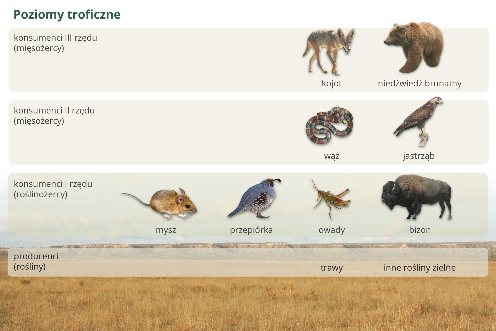 Ilustracja przedstawia poziomy troficzne stepu wpostaci czterech opisanych pasów. Udołu pas producentów na tle pożółkłej trawy. Powyżej na szarych pasach kolejnych poziomów znajdują się podpisane wizerunki zwierząt.