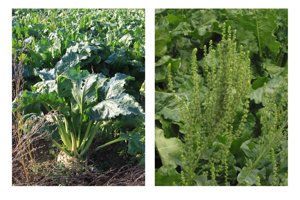 Dwa zdjęcia obok siebie: po lewej pęd buraka wpierwszym roku, widoczna wystająca zziemi bulwa; po prawej pęd buraka, tzw. pośpiech, zkwiatami, wdrugim roku wegetacyjnym.