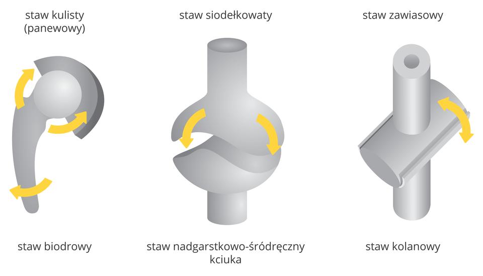 Ilustracja przedstawia schematycznie trzy rodzaje stawów. Kości wkolorze szarym, żółte strzałki wskazują możliwość ruchu. Od lewej: staw kulisty, inaczej panewkowy, tu: staw biodrowy. Wśrodku staw siodełkowaty, tu: nadgarstkowo – śródręczny. Zprawej staw zawiasowy, tu: kolanowy.