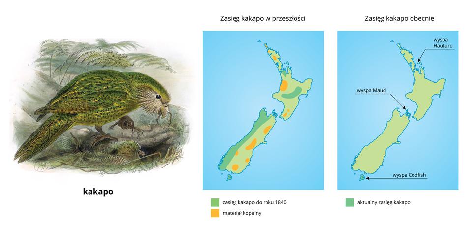 ZIlustracja przedstawia rysunek zielonego ptaka idwie mapki. Ptak to papuga kakapo, przedstawiona na ziemi, zkorzonkami roślin wdziobie iwłapie. Mapa wśrodku przedstawia rozmieszczenie kakapo na początku dziewiętnastego wieku. Mapa po prawej ilustruje aktualny zasięg gatunku, ograniczony do trzech małych wysepek.