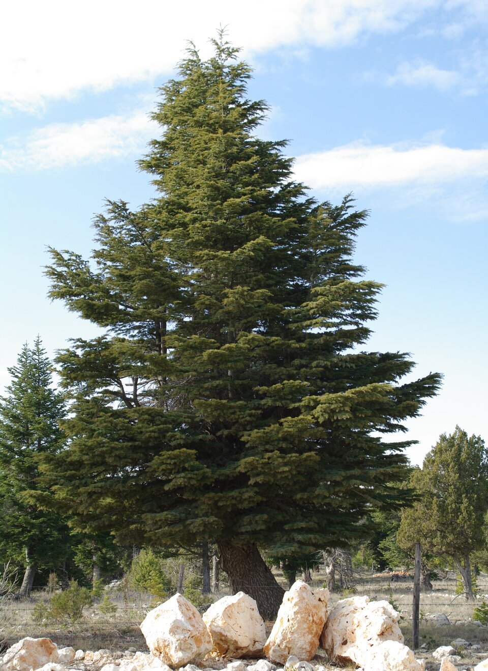 Na zdjęciu cedr, drzewo iglaste.