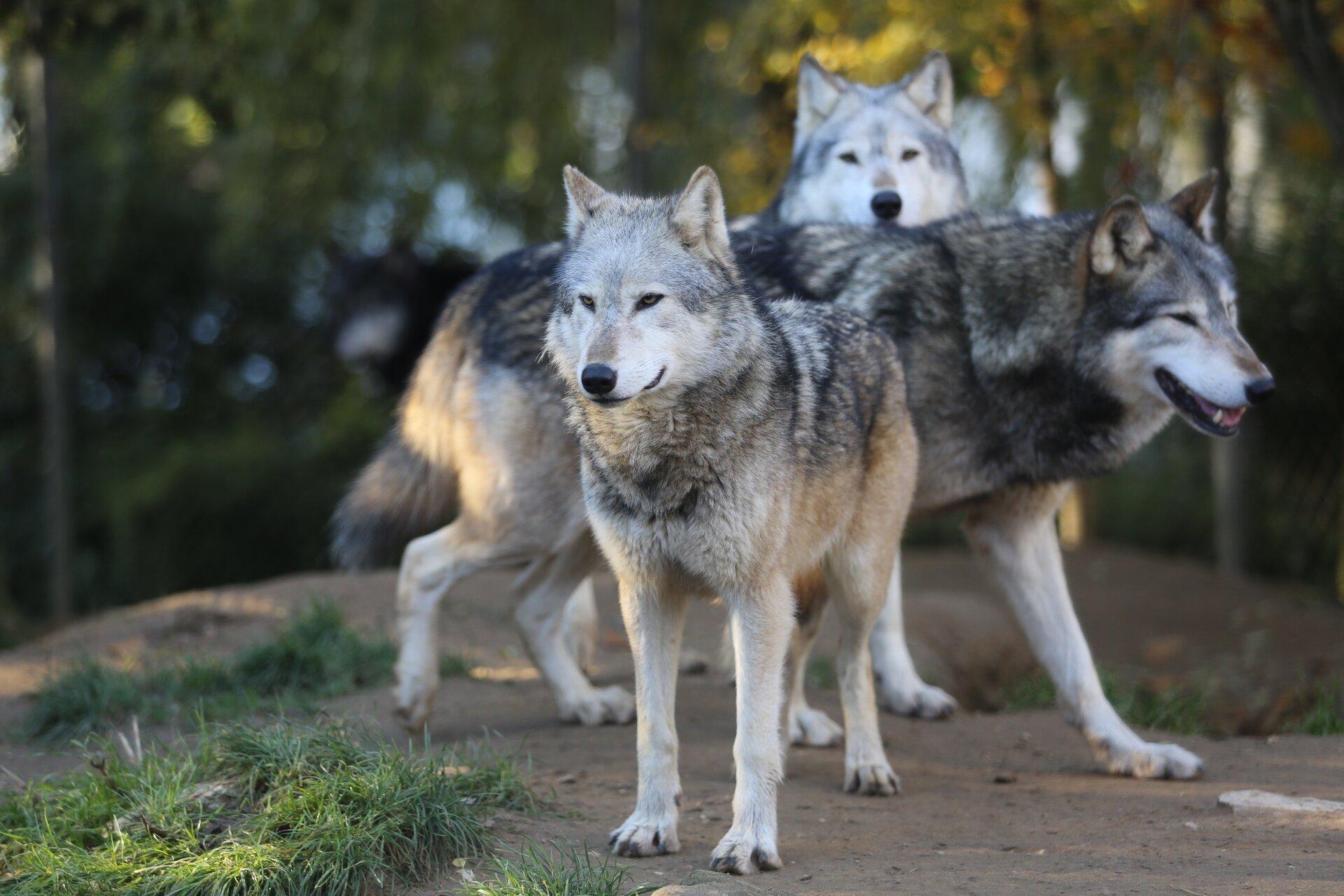 Fotografia przedstawia trzy wilki zimą wlesie. Stoją jeden za drugim, dwa patrzą wprzód, na obserwatora, atrzeci stoi bokiem. Ich sierść jest gęsta iszara, ciemna na grzbiecie, jasna pod brzuchem. Czarne nosy, żółte oczy inieduże, trójkątne uszy, nastawione do góry. Jeden ma lekko otwarty pysk zdużymi, białymi kłami.