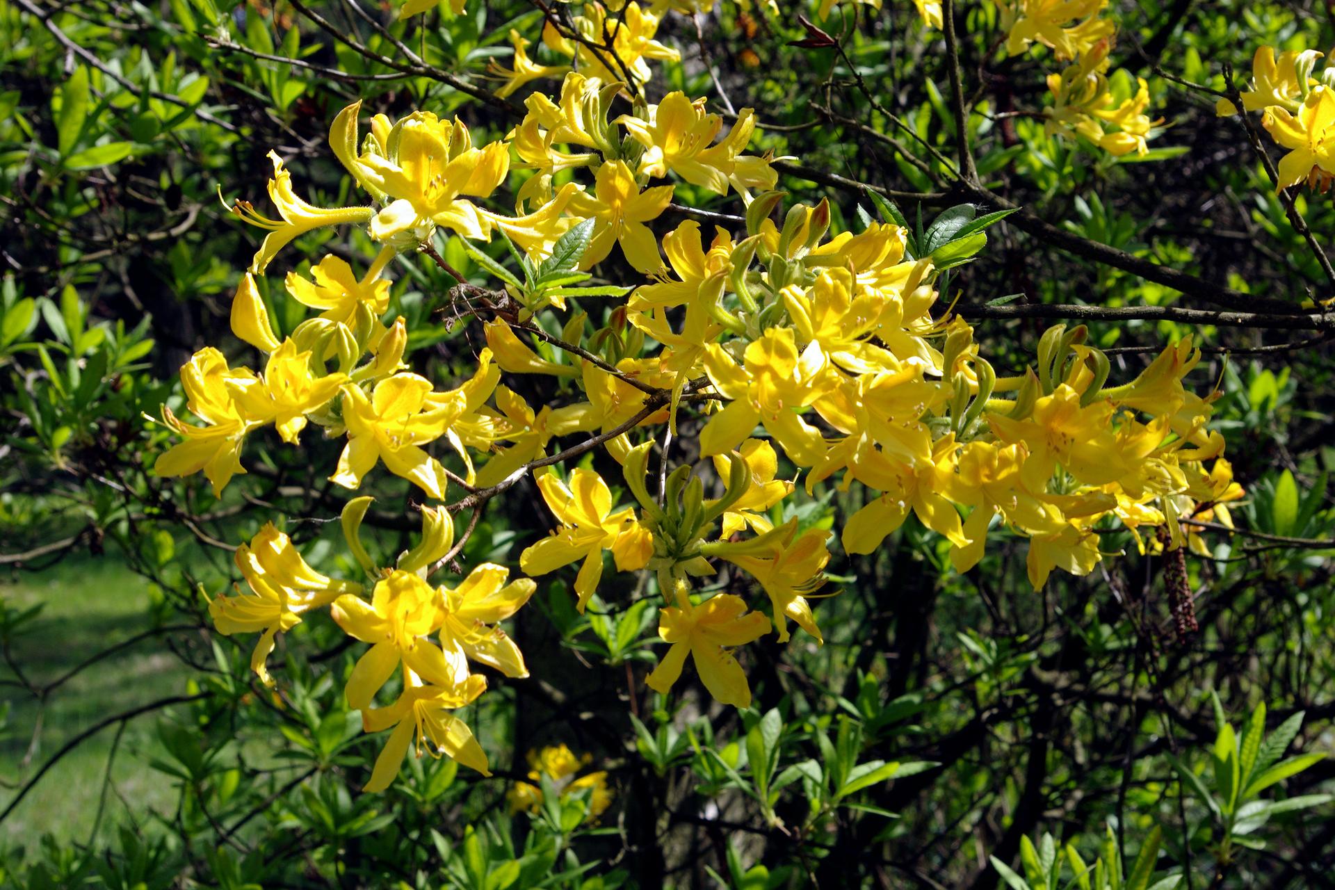 Fotografia przedstawia zbliżenie pędu żółto kwitnącego krzewu azalii pontyjskiej. Rośnie ona wrezerwacie florystycznym Kołacznia wwojewództwie podkarpackim. Jest to najmniejszy polski rezerwat, utworzony dla jej ochrony.