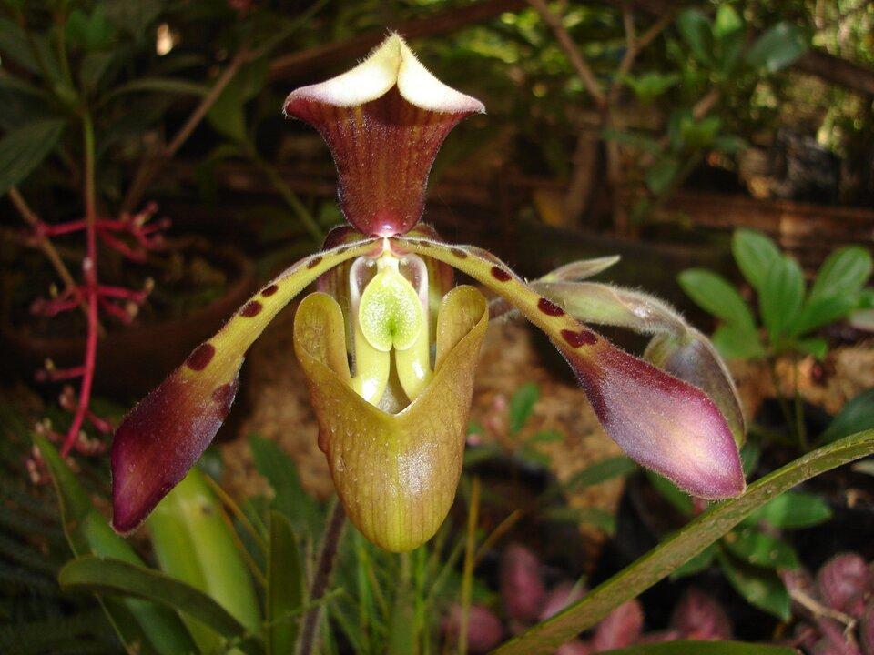 Fotografia przedstawia pojedynczy kwiat storczyka – pułapki na owady. Jego płatki mają różny kształt ibarwy. Od góry płatek zbordowymi smugami jest zagięty wkształcie daszka, osłaniającego dolną część kwiatu. Niżej na boki odstają dwa wydłużone płatki. Są bordowe na końcach, zielone wplamki bliżej środka kwiatu. Dolny zielonkawy płatek zawinięty wkształt głębokiego kubka. Środek kwiatu jasny ibłyszczący zwabia owady. Wtle inne rośliny.