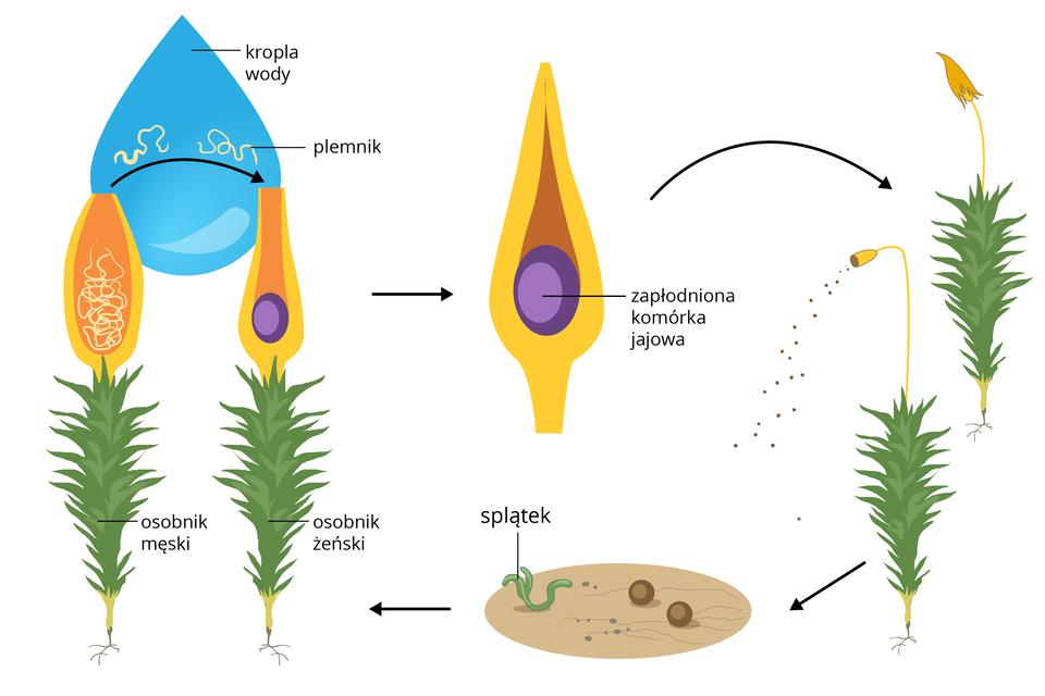 Ilustracja składa się zkilkukolorowych rysunków iprzedstawia schematycznie cykl rozwojowy mchu płonnika. Po lewej znajdują się dwie zielone łodyżki zpomarańczowo żółtymi, otwartymi kielichami na szczycie. Są one połączone błękitną kroplą wody. Wjednym kielichu znajduje się wiele białych nitek, czyli plemników. To osobnik męski. Wdrugim na dnie kielicha leży fioletowa komórka jajowa. To osobnik żeński. Strzałki wskazują, że plemniki wkropli wody przepływają do komórki jajowej. Środkowy rysunek ukazuje zapłodnioną komórkę jajową wzamkniętym żółtym kielichu. To zarodnia. Od niej strzałka prowadzi do dwóch roślin mchu po prawej. Na jednej zarodnia jest okryta czapeczką. Na drugiej zarodnia dojrzała iwysypują się zniej brązowe zarodniki. Na dole powiększenie: wbezowym owalu znajdują się dwie brązowe kulki – zarodniki. Wlewo wyrósł znich zielony, nitkowaty splątek. Strzałka wlewo wskazuje dorosłe mchy: żeński imęski. Cykl może się powtórzyć.