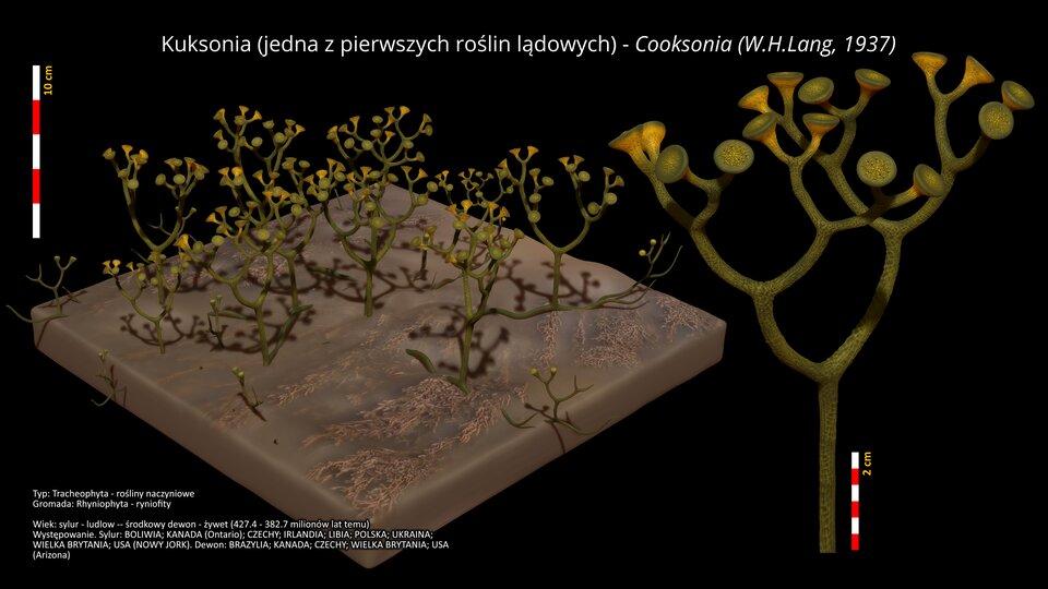 Na ilustracji kuksonia, jedna zpierwszych roślin lądowych. Na brązowej podstawie zielonkawe kłącza rozgałęzione widlasto. Obok narysowano skalę. Wysokość roślin do 10 cm. Zprawej strony ilustracja powiększonej rośliny. Na czubku każdej gałązki płaskie zgrubienia wkolorze żółtym.