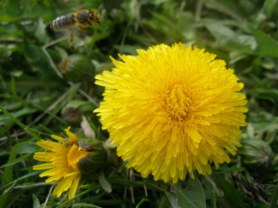 Galeria zdjęć prezentuje pospolite rośliny zielne. Na pierwszej fotografii widoczny kwitnący na żółto mniszek lekarski, należący do bylin.